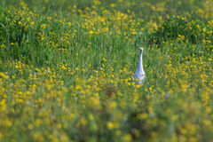 Cattle Egret Bubulcus ibis in green grass. With yellow flowers Royalty Free Stock Images