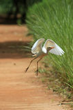 The cattle egret Bubulcus ibis Stock Image