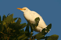 Cattle egret (Bubulcus ibis). In Kruger Bational Park Royalty Free Stock Image