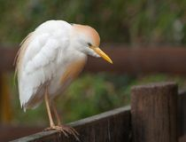 Cattle egret on a fence Stock Photography