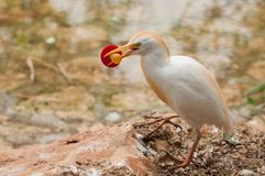 Cattle Egret with a soother in its beak Royalty Free Stock Photo