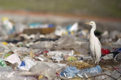 Cattle Egret Bubulcus ibis in the trash stock image