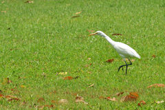 Cattle Egret ( Bubulcus ibis). In nature Royalty Free Stock Photography