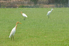 Cattle Egret ( Bubulcus ibis). In nature Stock Photography