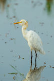 Cattle egret(Bubulcus ibis Royalty Free Stock Photos