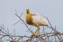 Cattle egret(Bubulcus ibis) Stock Image