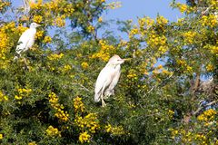 Cattle Egret, Bubulcus ibis nests to Morocco Royalty Free Stock Images