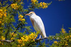 Cattle Egret, Bubulcus ibis nests to Morocco Stock Images