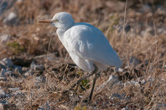 Cattle egret, Bubulcus ibis, in Northern Namibia at sunrise. A Cattle egret, Bubulcus ibis, in Northern Namibia at sunrise Royalty Free Stock Photos