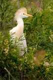 Cattle Egret (Bubulcus ibis) Patagonia, Argentina, South America. Royalty Free Stock Photo