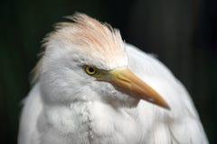 Cattle egret. Bubulcus ibis. In a rainforest of South America. Heron. White bird Stock Photos