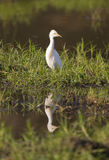 Cattle Egret (Bubulcus ibis) reflection. In water Royalty Free Stock Photo