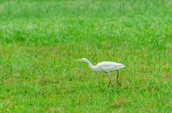 Cattle Egret (Bubulcus ibis) Royalty Free Stock Photography