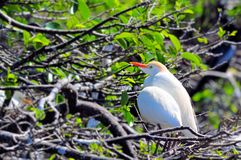Cattle egret, Bubulcus ibis Royalty Free Stock Image