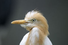 Cattle egret, Bubulcus ibis Stock Photo