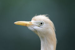 Cattle egret, Bubulcus ibis Royalty Free Stock Photography