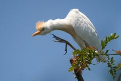 Cattle egret Bubulcus ibis sitting on a branch against the sky Stock Photos