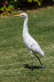 Cattle egret (Bubulcus ibis). Sitting on the roof Stock Photo