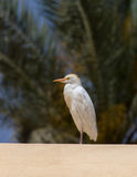 Cattle egret (Bubulcus ibis). Sitting on the roof against the backdrop of the date palm Royalty Free Stock Image