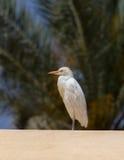 Cattle egret (Bubulcus ibis) Royalty Free Stock Image