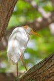 Cattle Egret Bubulcus ibis Royalty Free Stock Image