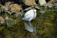 Cattle Egret (Bubulcus ibis) Stock Photography