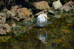 Cattle Egret (Bubulcus ibis) Stock Photo
