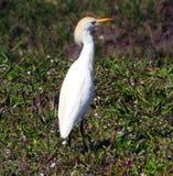 Cattle Egret (Bubulcus ibis) Stock Photos