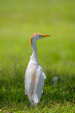 Cattle Egret Bubulcus ibis Royalty Free Stock Images