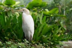 Cattle egret (bubulcus ibis) Stock Photography