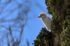 Cattle Egret Bubulcus ibis on tree. On blue sky background Stock Photos