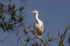Cattle Egret Bubulcus ibis Stock Photo