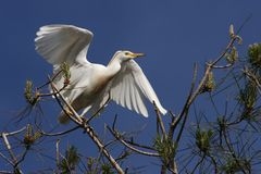 Cattle Egret Bubulcus ibis Royalty Free Stock Photos