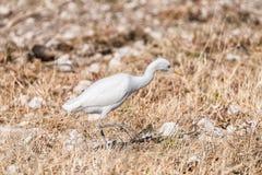 Cattle egret, Bubulcus ibis, walking in grass Royalty Free Stock Image