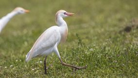Cattle Egret Wandering in Meadow. Cattle egret, Bubulcus ibis, is wandering in meadow royalty free stock images