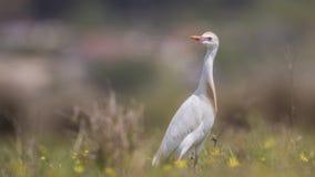 Cattle Egret Wandering in Meadow. Cattle egret, Bubulcus ibis, is wandering in meadow looking left Stock Photos