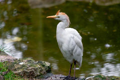 Cattle Egret (Bubulcus ibis). At the water's edge Stock Images