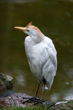 Cattle Egret (Bubulcus ibis). At the water's edge Stock Image
