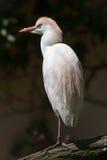 Cattle egret (Bubulcus ibis). Wildlife animal Stock Photos