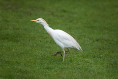 Cattle egret Bubulcus ibis Stock Photos
