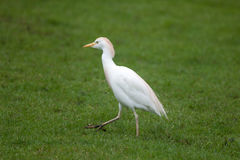 Cattle egret Bubulcus ibis Stock Images
