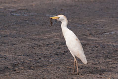 Cattle Egret Catches Brown Lizard Stock Image