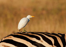 Cattle egret catching a ride on a zebras back Stock Photo