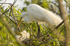Cattle Egret with chicks Stock Photo