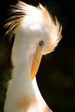Cattle Egret Stock Images