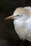 Cattle Egret Closeup Portrait Stock Photo