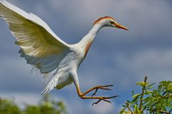 Free Cattle Egret Coming To Land Stock Photos - 100163443