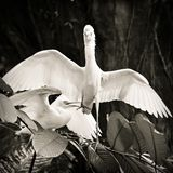 Cattle egret courtship display. Cattle egret bird courtship display royalty free stock photography