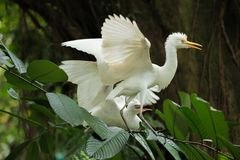 Cattle egret courtship display. Cattle egret bird courtship display royalty free stock images