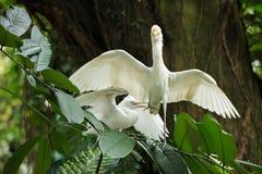 Cattle egret courtship display. Cattle egret bird courtship display royalty free stock photos